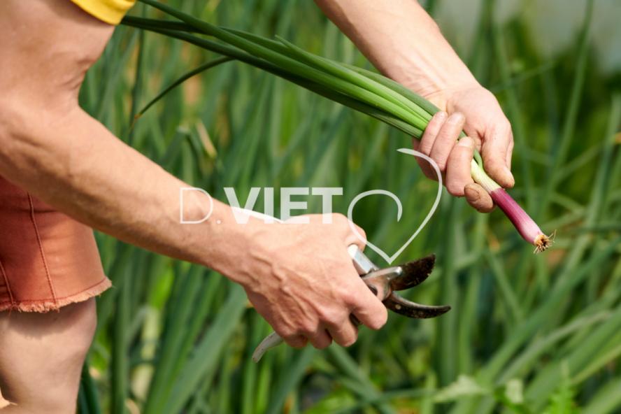 Photo Dominique VIET - Récolte des oignons